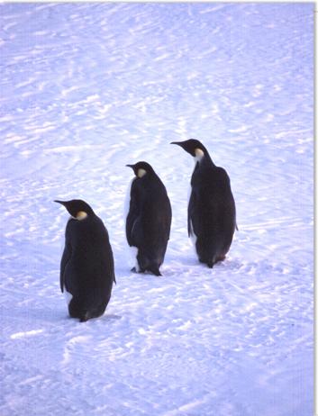 エンペラーペンギン